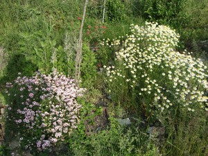 会社の花壇に咲いたカモミールとピンクの花