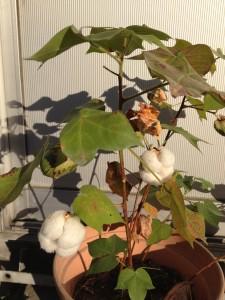 綿の木に綿ができました!