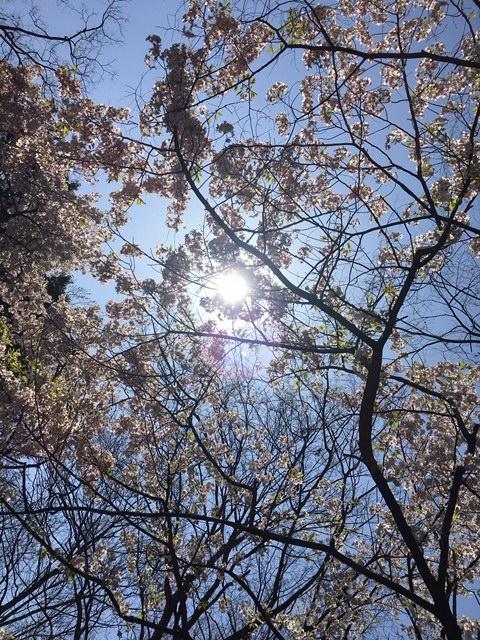 2020桜 桜の花の間から太陽がみえる